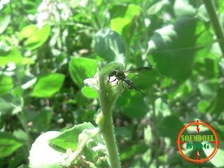 Lebah di Daun Luntas