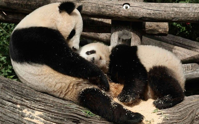 funny animals, animal pictures, baby panda and momma