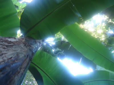Foto Asli Pohon Pisang