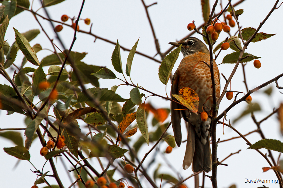 American Robin Eating Pacific Crabapples