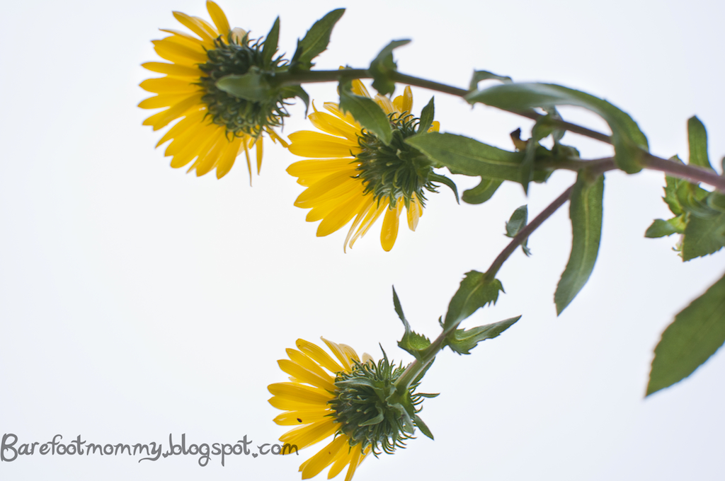 how to make grindelia tincture