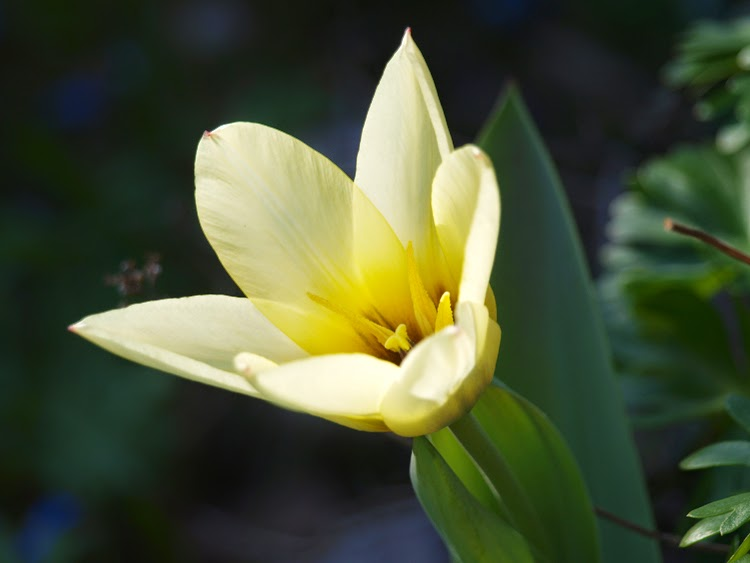 Årets første tulipan 2015 er Tulipan Concerto