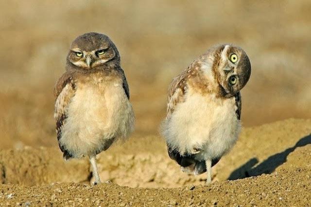 Due gufi sulla sabbia