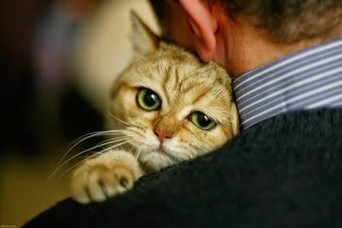 Cara Membuat Kucing Persia Anggora Menjadi Manja