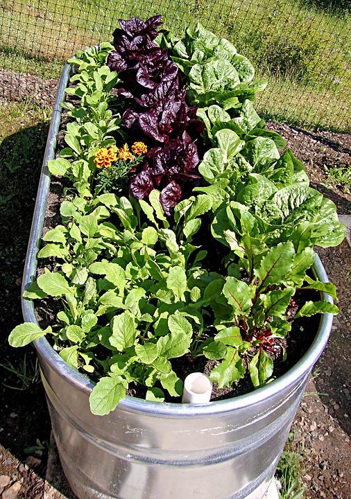 Rain Barrel Garden Thinning Radishes Beets Beet Greens Recipe