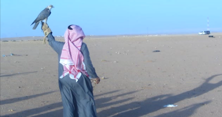 falcon-saudi-araiba