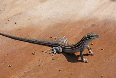 Arizona Whiptail Lizard photo by Jennifer Kistler 2013 Prescott AZ
