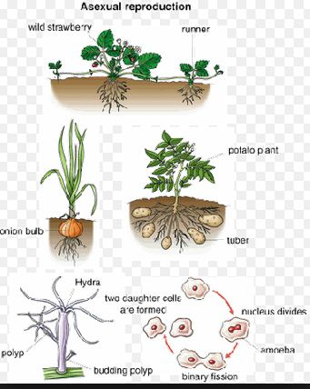Agamogenesis asexual reproduction in fungi