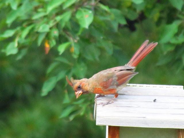 cardinal on house