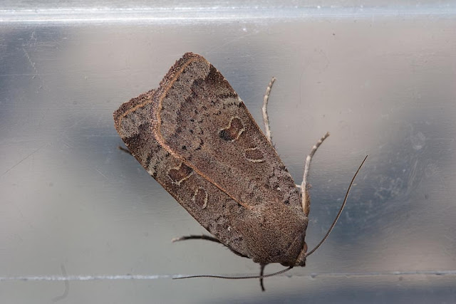 Lesser Yellow-underwing