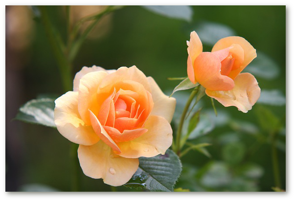 Trandafirii: informatii, retete cosmetice pentru acasa