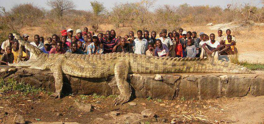 20 Meters long alligator