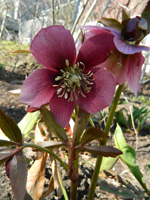 Purple Hellebore spring blooms by garden muses: a Toronto gardening blog