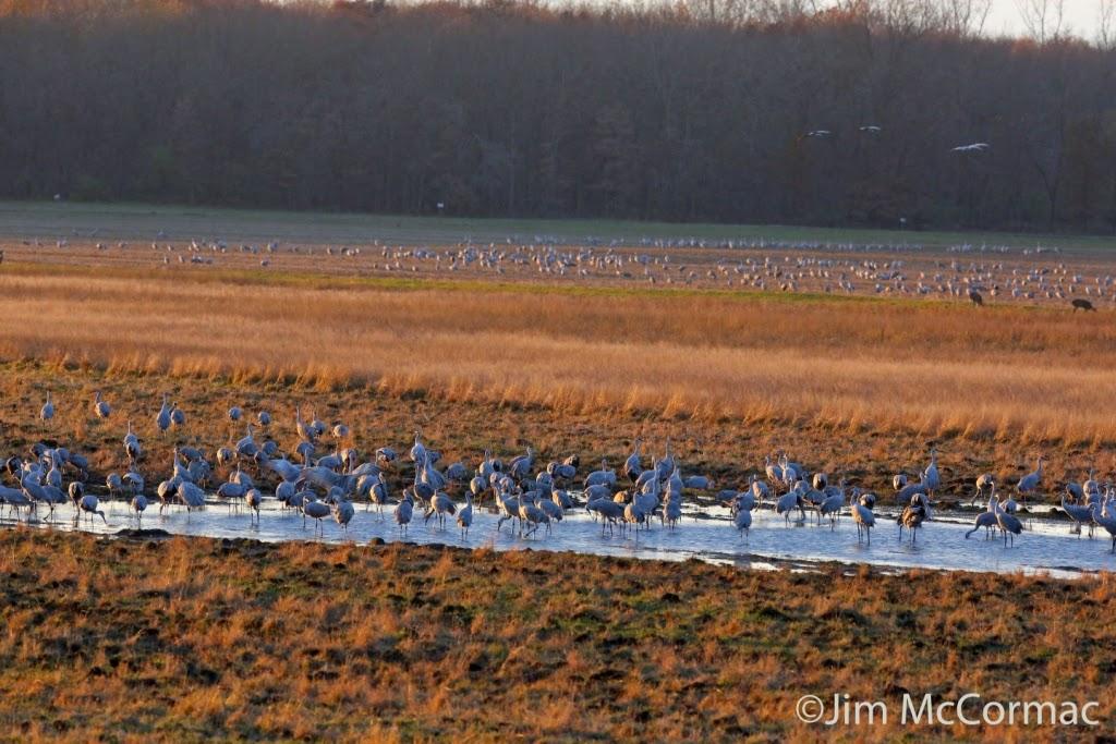 Sandhill Cranes In Epic Oak Grove >> Ohio Birds And Biodiversity Sandhill Cranes At Jasper Pulaski