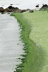 7 juillet 2011 - Les algues vertes