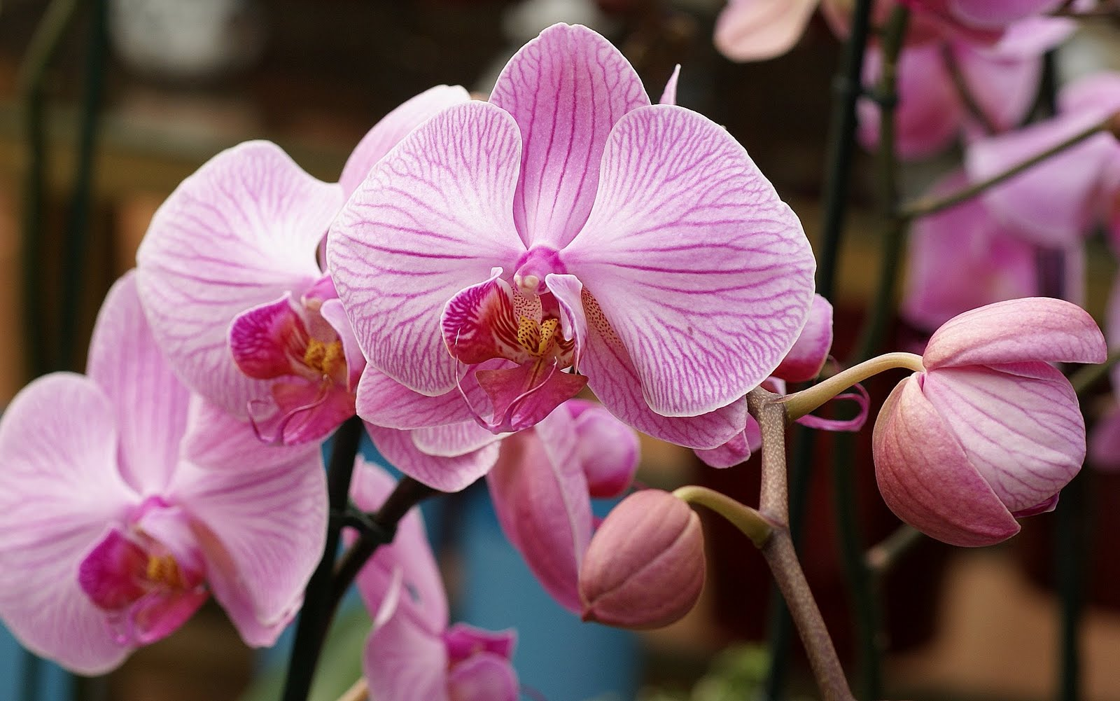 pink orchid wallpaper fancy wallpaper