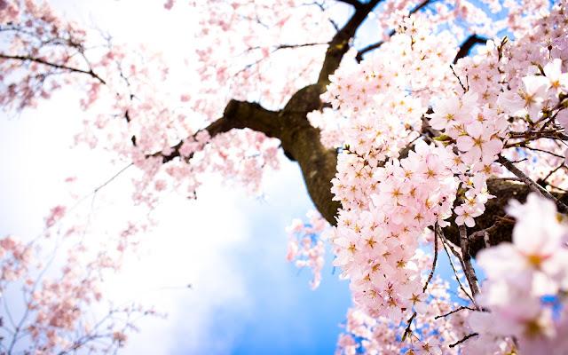 Flores Rosadas Arboles de Cerezo en Primavera