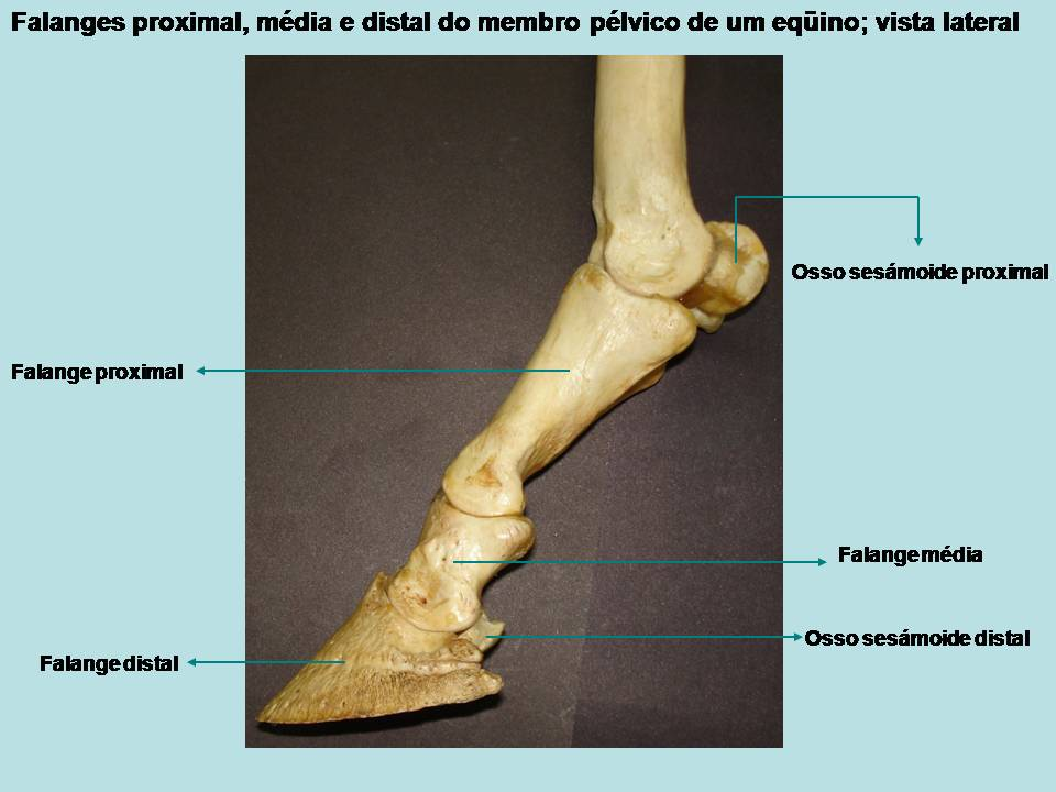 ZOOTECNIA UFMS: Esqueleto Apendicular - Membros Pélvicos