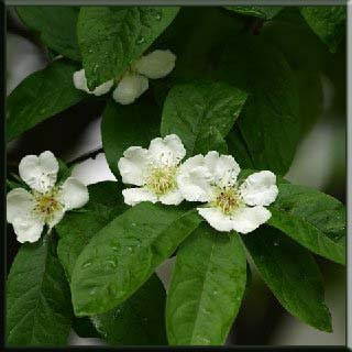 Müşmula çiçeği Böbrek  şeker  güzel çiçekli facebook Meyve Sebze gül bahçe cilt vitamin