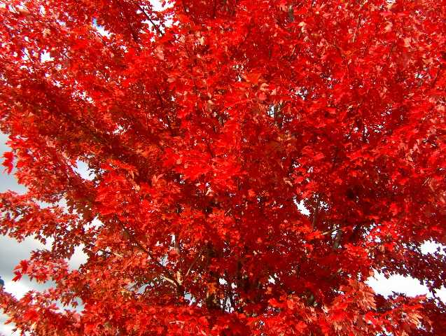 Autumn Blaze Maple For Sale5
