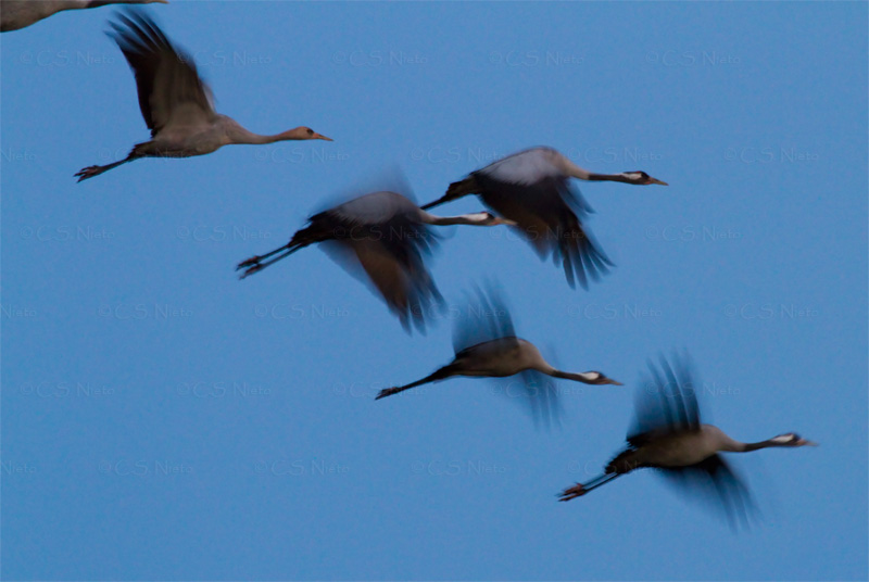 Grullas al amanecer,Cranes in the morning embalse de Rosarito, sur de Gredos, Candeleda