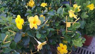 flors dipladèmia Garden Gaià