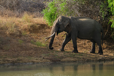 A Photograph of a Tusker Taken in Yala, Sri Lanka