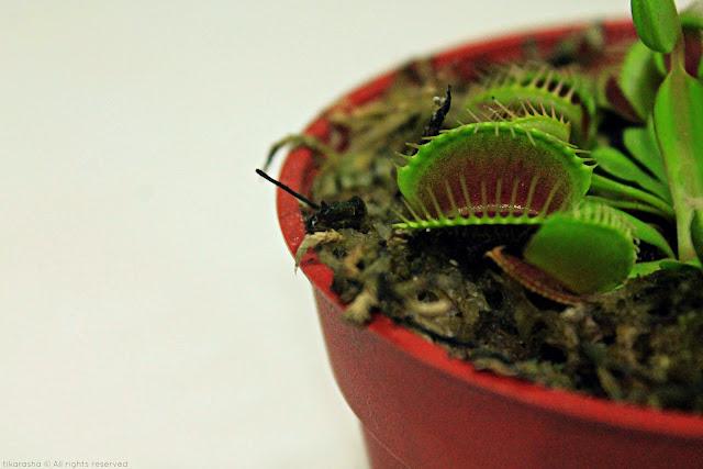 Pokok Perangkap Lalat