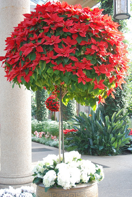 Oh, to have the light and room for one of these poinsettia beauties!