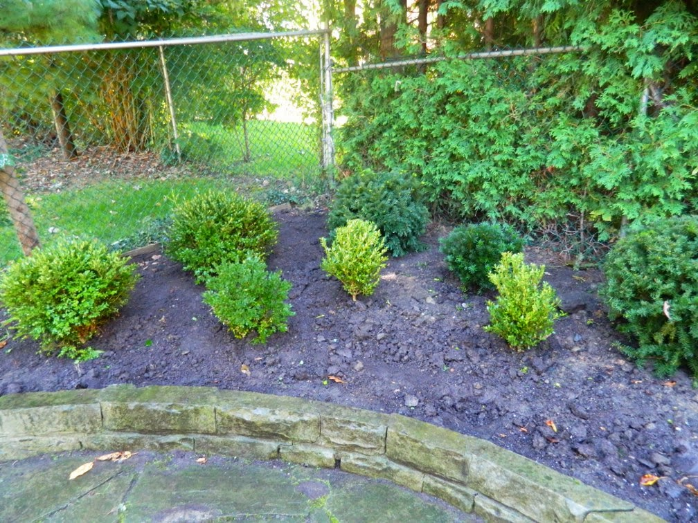 boxwood cloud pruning by garden muses-not another Toronto gardening blog