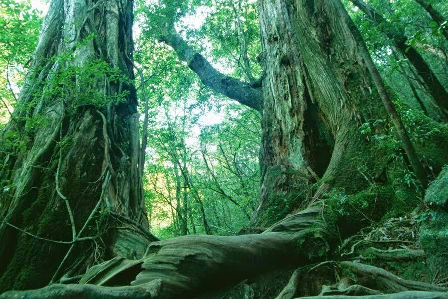 Hutan Aokigahara, Jepang
