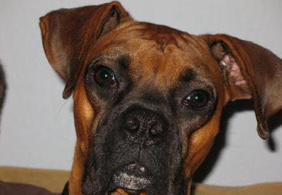 Boxer Dog Breed Fotos