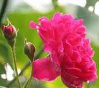 กุหลาบมอญดอกไม้อบเทียนหอม