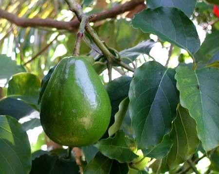 Avocado Seed Plant