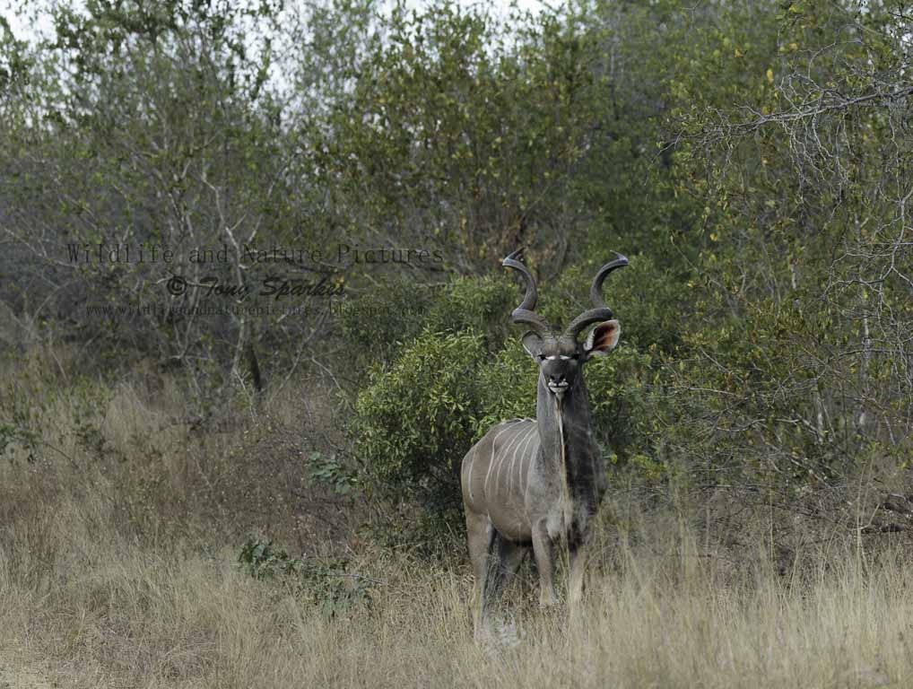 African wildlife - Greater Kudu (Tragelaphus stepsiceros) Kruger National Park-South Africa