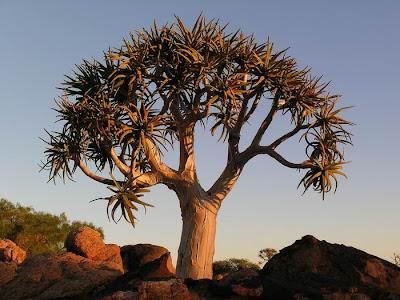 Aloe+dichotoma+ +quiver+tree++03
