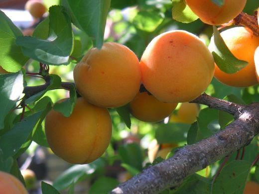 gambar pohon dan buah aprikot