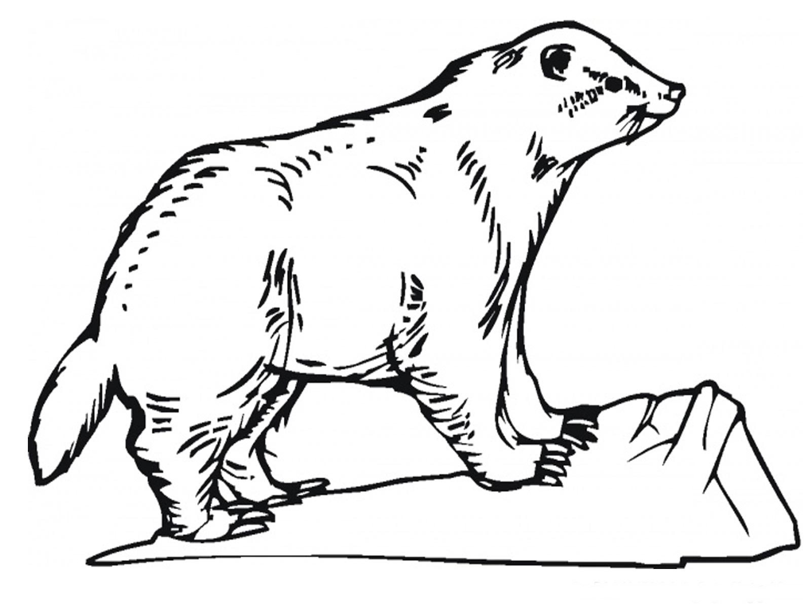 Badger Coloring Pages Realistic Realistic Coloring Pages