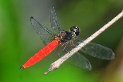 Aethriamantina brevipennis