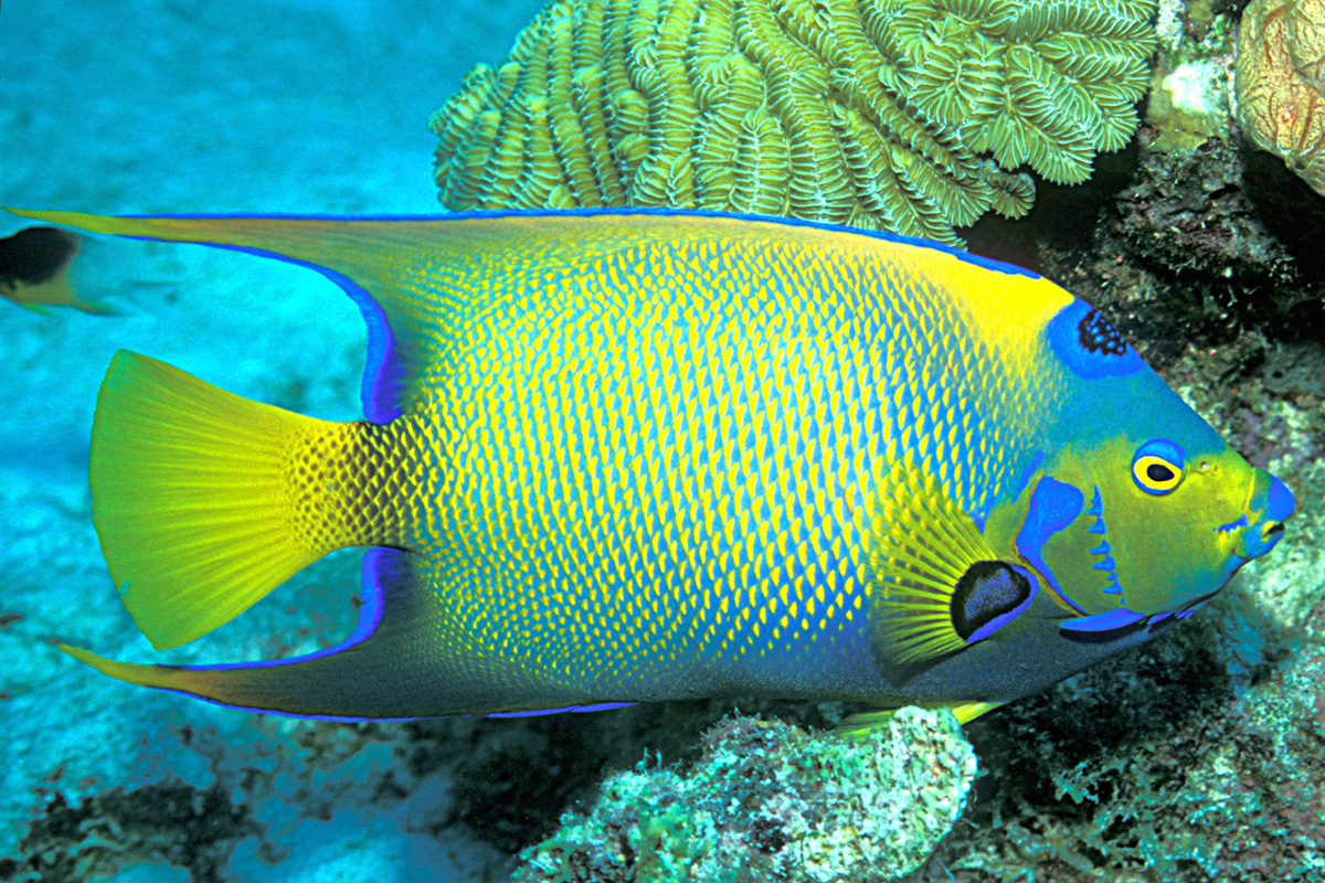 Queen Angelfish Facts And New PicturesQueen Angelfish