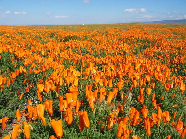 Poppies of the California Mojave Desert