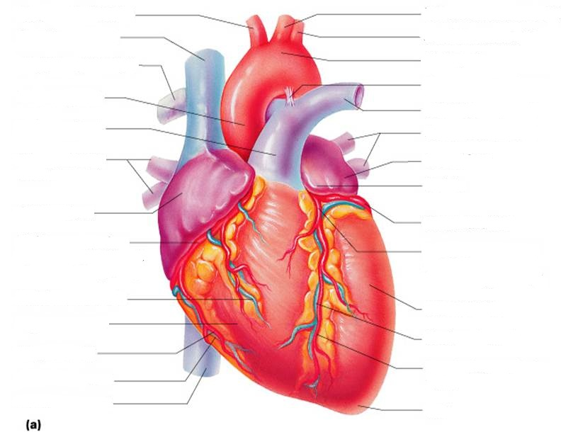 List Of Synonyms And Antonyms Of The Word Heart Anatomy Diagram Blank
