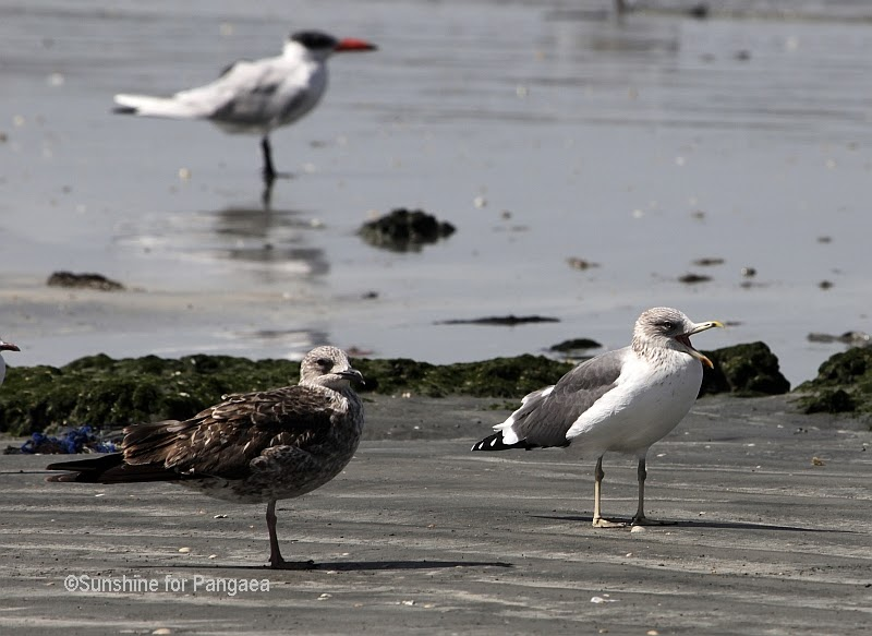 Grey headed Gull and female Cape Gull in Gambia