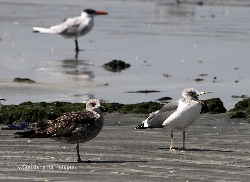 Grey headed Gull and female Cape Gull in Gambia