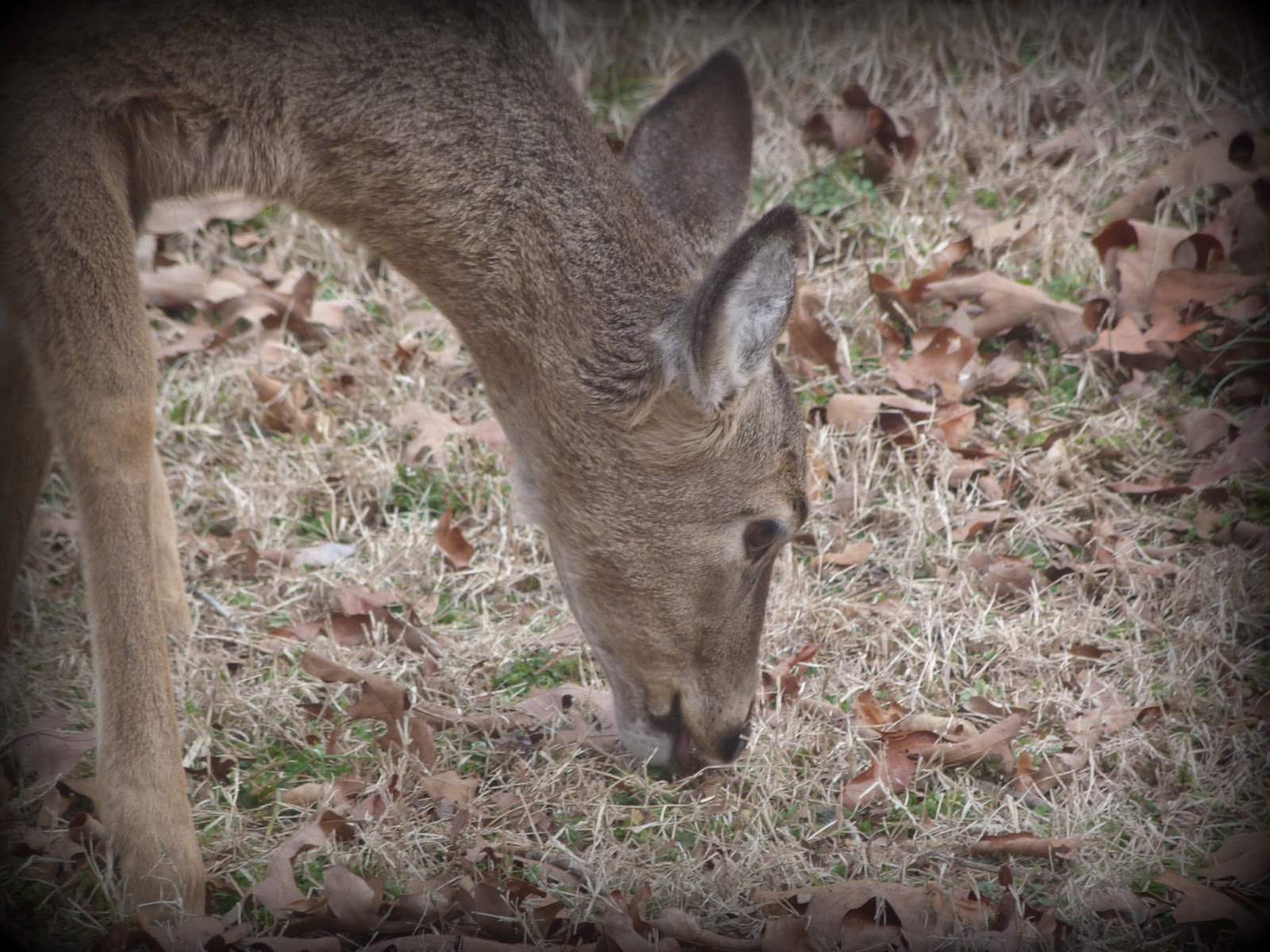 CHMusings: Deer eating grass