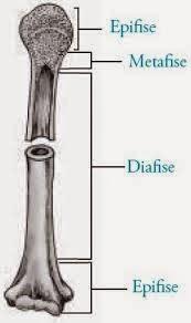 Tulang pipa (tulang panjang)