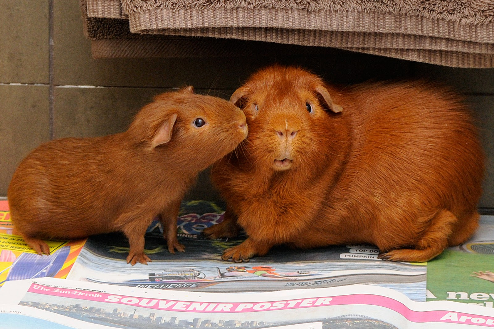 guinea pig kiss cavies romance valentines day