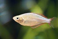 Schooling Melanotaenia Praecox Neon Rainbowfish Species