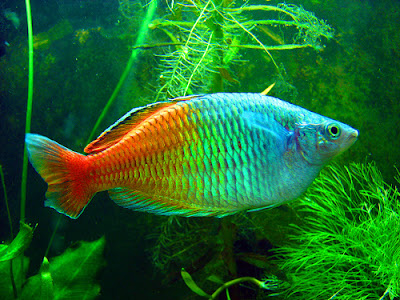 Boeseman the rainbowfish the life of animals for Tropical fish species