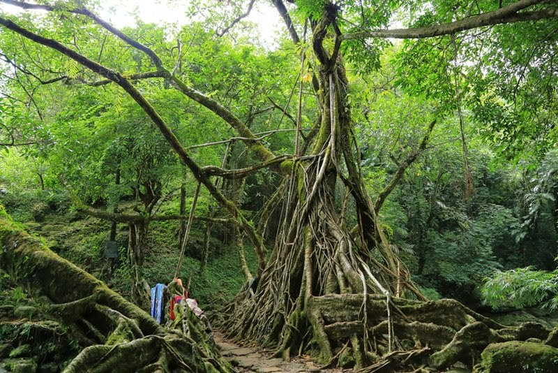 Living root bridge at Riwai.